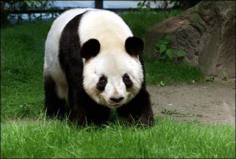 Una tala ilegal en el santuario de pandas de Sichuan, en ...