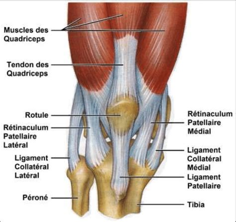 Unique Anatomy Knee Tendons Picture Collection   Human ...
