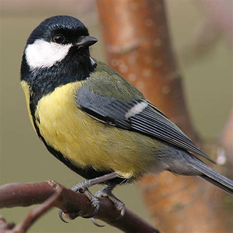 Urban Birds Change Their Tune | BirdNote