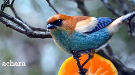 Uruguay...nuestros pájaros pintados - YouTube