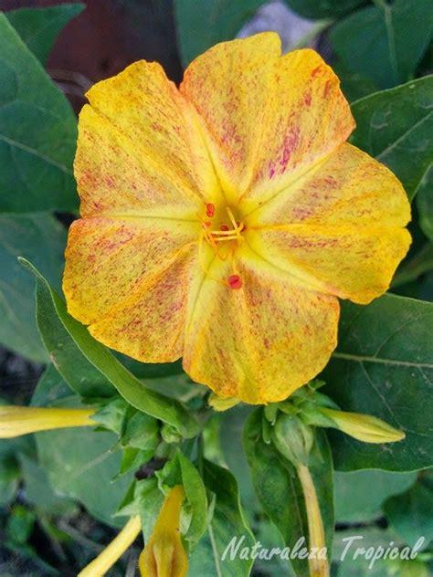 Variedad amarilla matizada de una flor del género ...