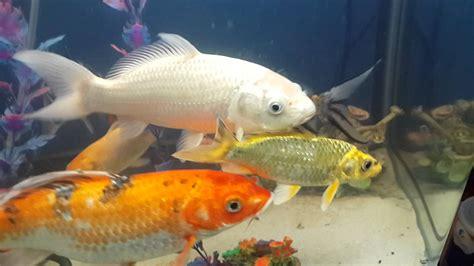 Variedad de peces koi en acuario 2014 - YouTube