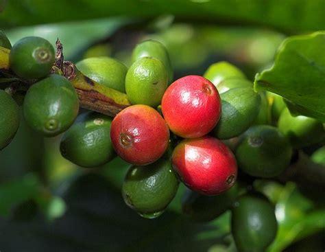 Variedades botânicas de café | Chávena.com