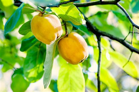 Varieties Of Quince: Learn About Different Kinds Of Quince ...