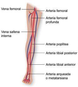 Vasos sanguíneos de la pierna | Texas Heart Institute