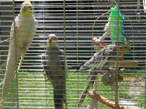 Venta de 3 ninfas con jaula