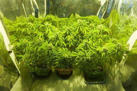 Ventajas y desventajas de cultivar marihuana: Cultivo en ...