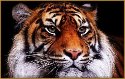 ver fotos de tigres para fondo de pantalla Archivos ...