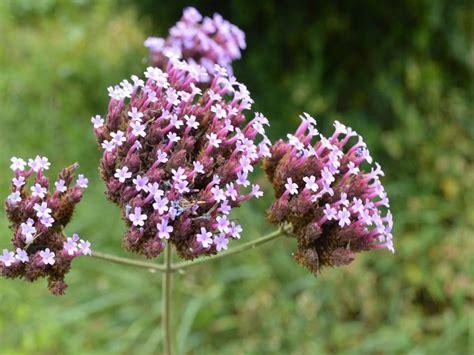 VERBENA DE JARDIN (Verbena bonariensis) PLANTAS ...