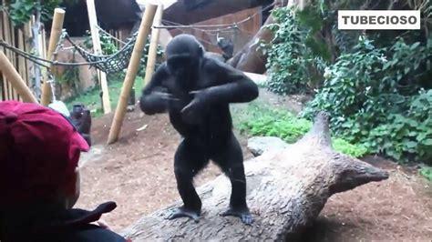 Videos graciosos de monos, orangutan, chimpances 2016 II ...