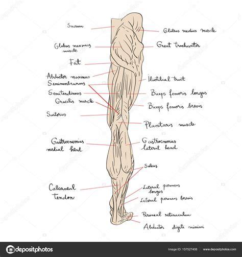 Vistoso Gráfico De La Anatomía Muscular Humana Viñeta ...