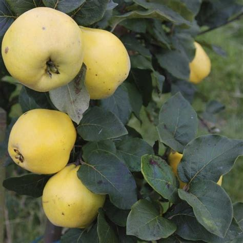 Vranja Quince Tree | Buy Quince Trees Online | Quality ...