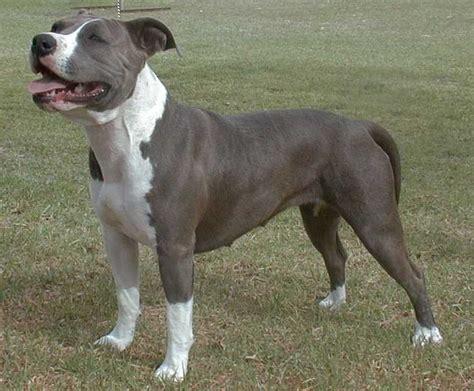 Waiiti Staffordshire Bull Terriers & American ...