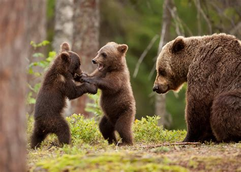 Wallpaper bear, bear cub, forest, tree, bear family ...