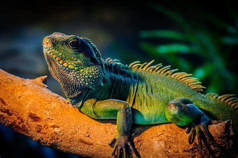Wallpaper iguana, lizard, cute animals, Animals #4670
