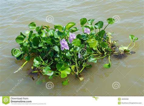 Water Hyacinth Plant Floating On A River Stock Photo ...