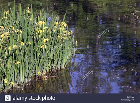 water plants on a river bank Stock Photo, Royalty Free ...