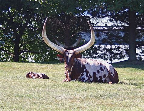 Watusi Cow | This breed was native to Africa. View On ...