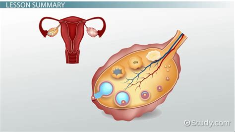 What Are Ovaries?   Definition, Functions & Size   Video ...