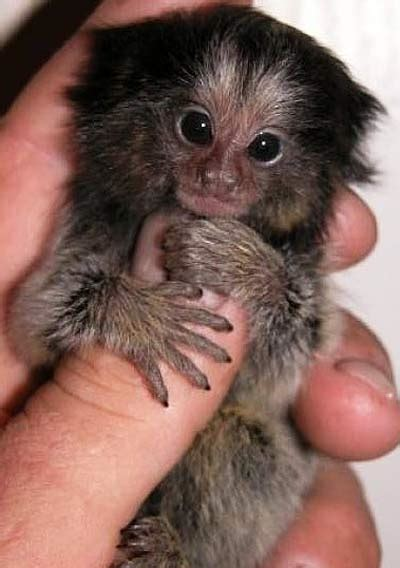 What is a Finger Monkey? | Animal Pictures and Facts ...
