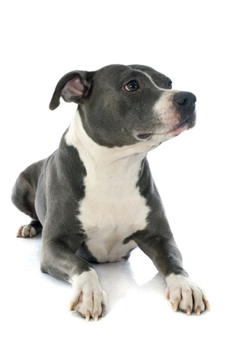 What Is the Difference Between American Pitbull Terriers ...