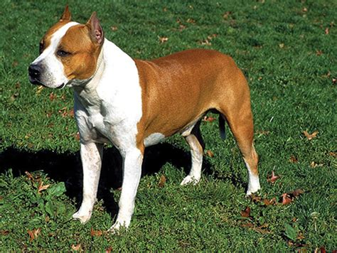 What s the Difference Between the American Staffordshire ...