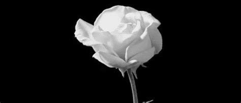 White Rose GIFs - Find & Share on GIPHY