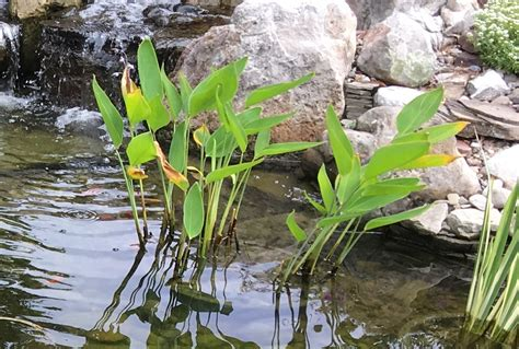 Why are my pond plants turning yellow? | Premier Ponds ...