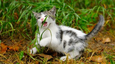 Why do cats eat grass? – Adventure Cats