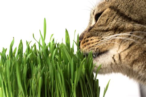 Why does my cat eat grass? Pet Greens Live Cat Grass