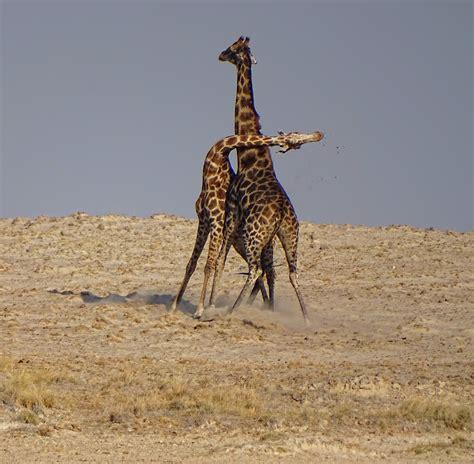 Wiki: Giraffe - upcScavenger