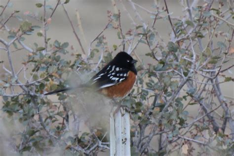 Wild Birds images Spotted Towhee HD wallpaper and ...