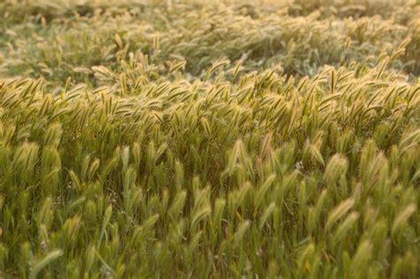 Wild California Rye Grass Horizontal ~ Nature Photos on ...