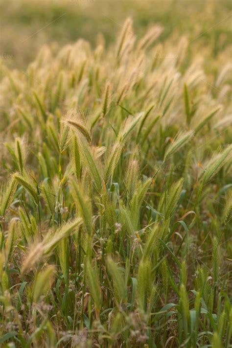 Wild California Rye Grass Vertical ~ Nature Photos on ...
