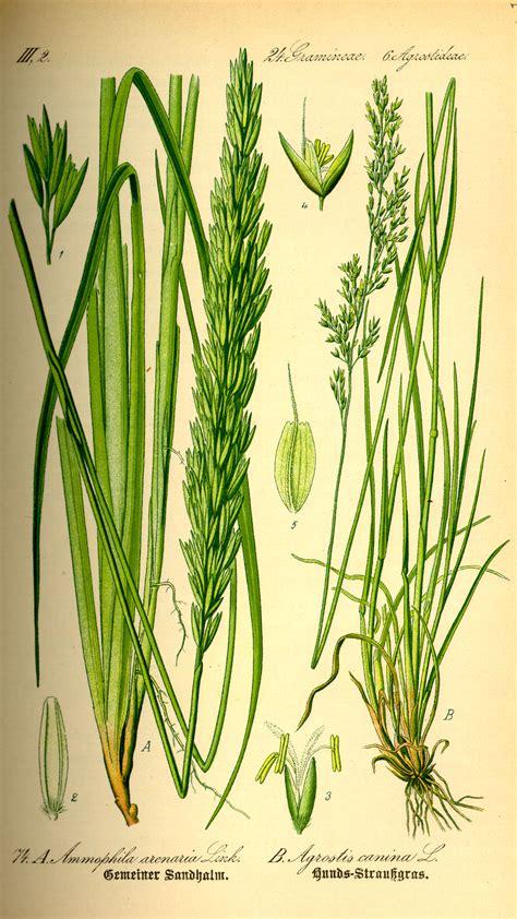 Wild Grass: European Beach Grass