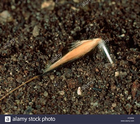 Wild oat Avena fatua seed beginning to germinate and embed ...