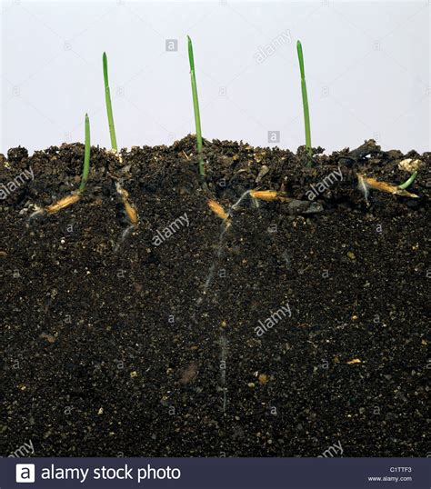Wild oat (Avena fatua) seedlings germinating in glass ...
