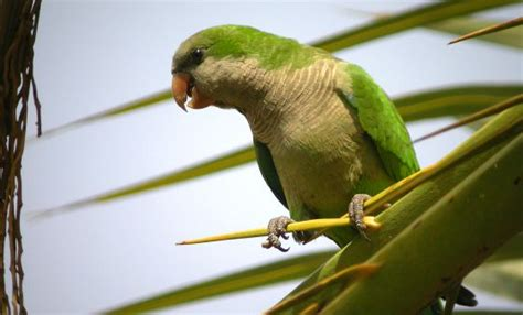 Wildlife in Spain: Monk parakeets now seen as a plague in ...