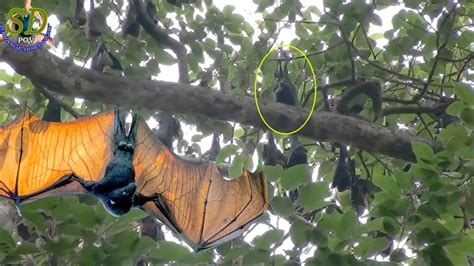 WOW! The Giant Bat || Large Flying foxes || The Biggest ...