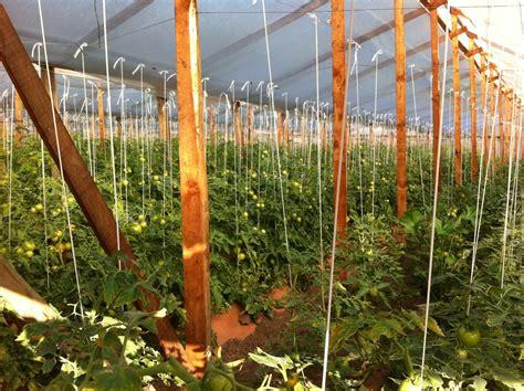 Ya es momento de sembrar Tomates (pero no de plantarlos ...