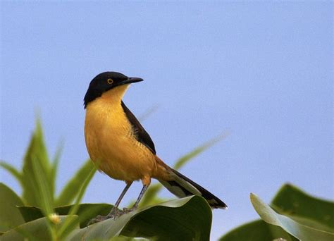 Yellow and Black Bird   Birds song/ground/colorful   Pinterest