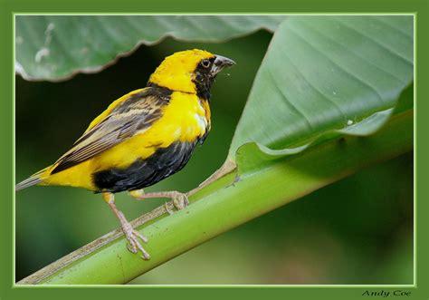 Yellow and black bird   Flickr   Photo Sharing!