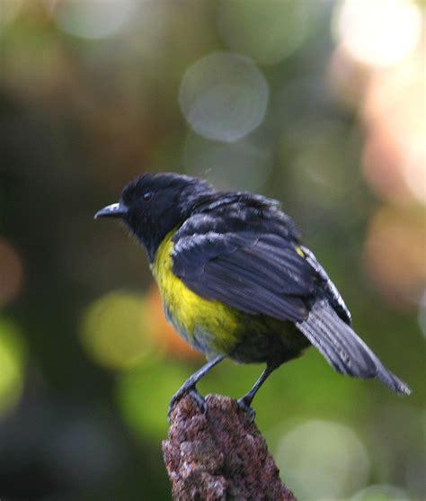 Yellow And Black Birds