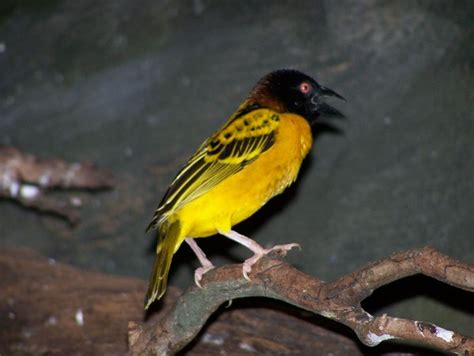 Yellow bird with black head? by jadedfalcon on DeviantArt