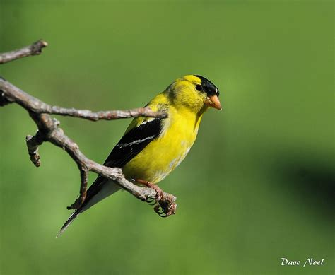 yellow birds | Birds by Dave