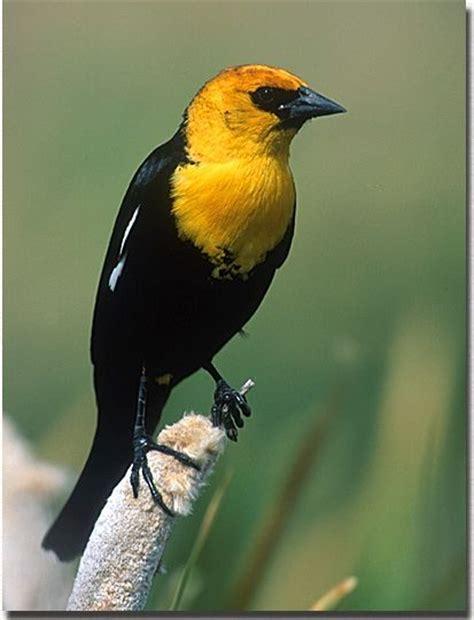 Yellow Headed Black Bird | Beautiful things! | Pinterest
