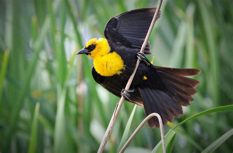 Yellow headed Blackbird   Audubon Field Guide