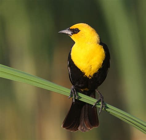 Yellow headed Blackbird   Flickr   Photo Sharing!