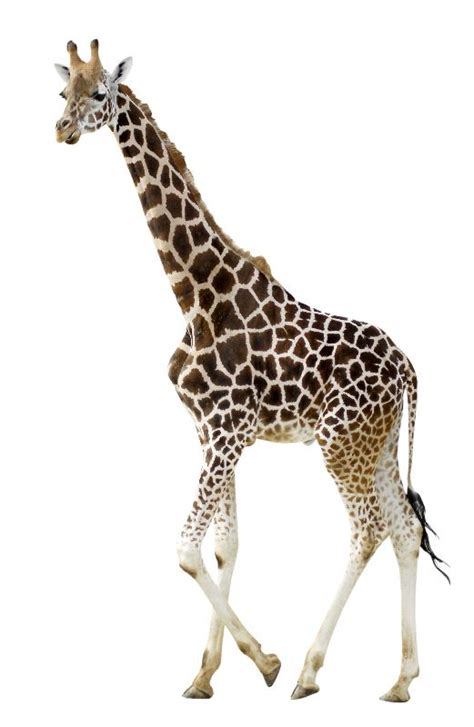 Young Giraffe on White Background - Giraffe Facts and ...