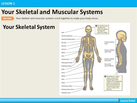 Your Body Systems Lesson 1 Your Skeletal and Muscular ...
